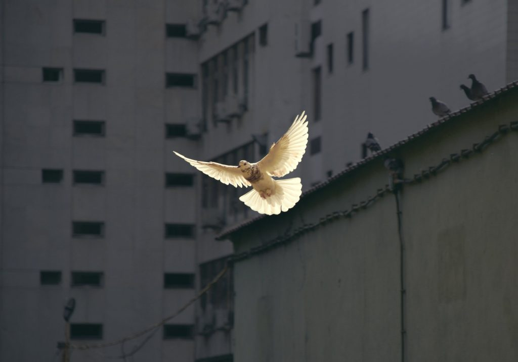 A dove, symbol of peace